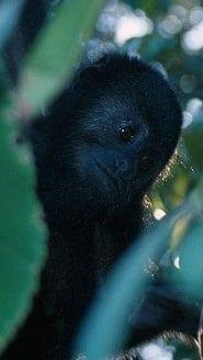 Guatemalan Black Howler Monkey